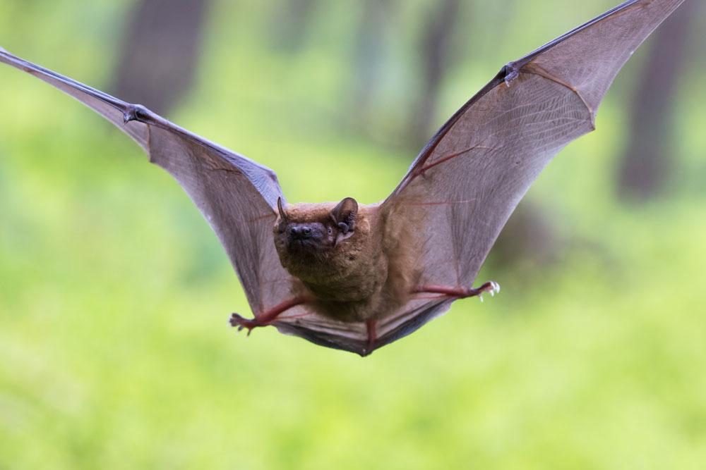 Foto einer Fledermaus im Kontext der Langzeituntersuchung